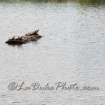 Delta Ponds Turtles on a Log